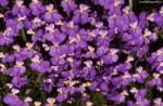 medium_Violette.jpg